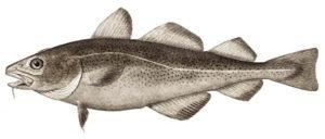 Atlantic Cod image